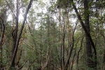 Madrone forest